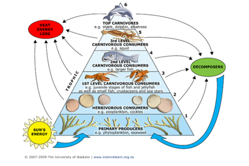 Ocean Food Chain Energy Pyramid