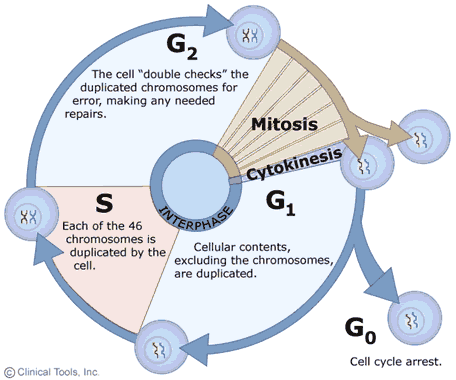 The Cell Cycle - SAS